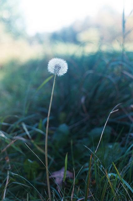 gossamer dandelion